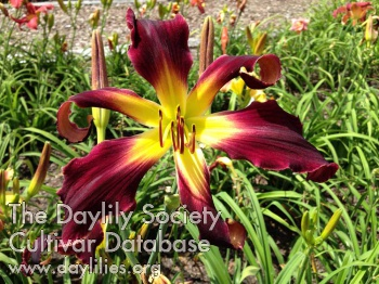 Daylily Above All