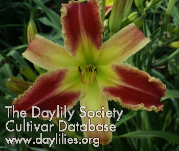 Daylily Alien Force