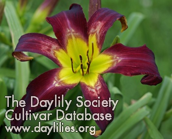 Daylily Aliens in the Garden