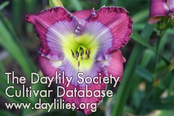 Daylily Art Gallery Blues
