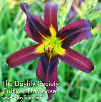 Daylily Artificial Evolution