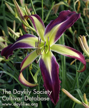 Daylily Awesome Butterfly