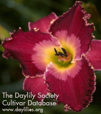 Daylily Blackwater Captain Jack