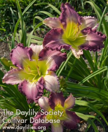 Daylily Dream Sequence