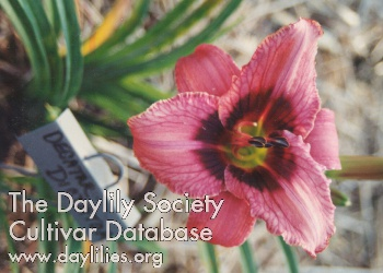 Daylily Decatur Dictator