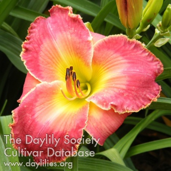 Daylily Eternal Warrior
