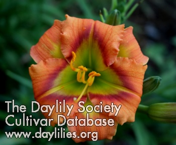 Daylily Halloween Green
