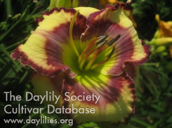 Daylily Life Unlimited