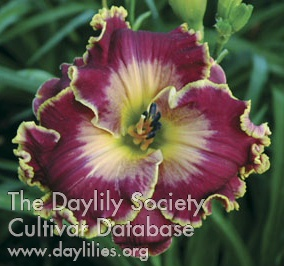 Daylily Moonlight Sail