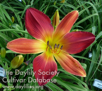 Daylily Open Hearth