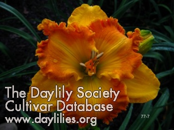 Daylily Over Heated