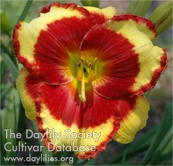 Daylily Paco Bell