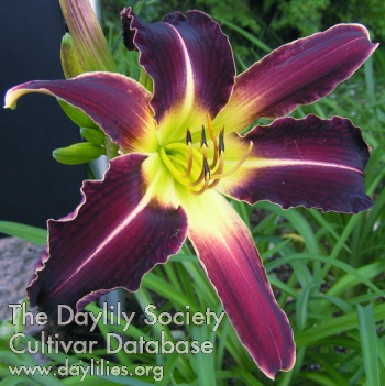 Daylily Stonehill's African Night