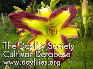 Daylily Sally Sue