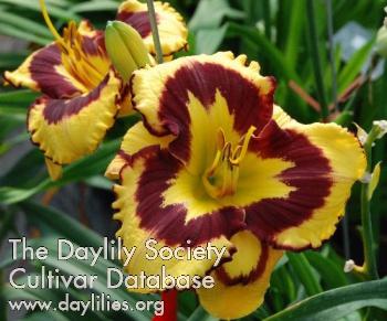 Ahs daylily cultivar starburst fantasy