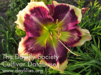 Daylily Strong Tower