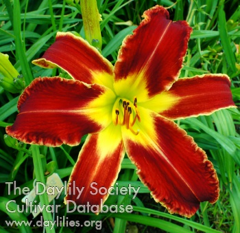 Daylily Super Alien Force