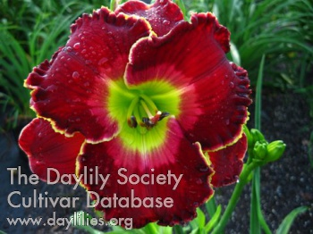 Daylily The Blessing of Freedom